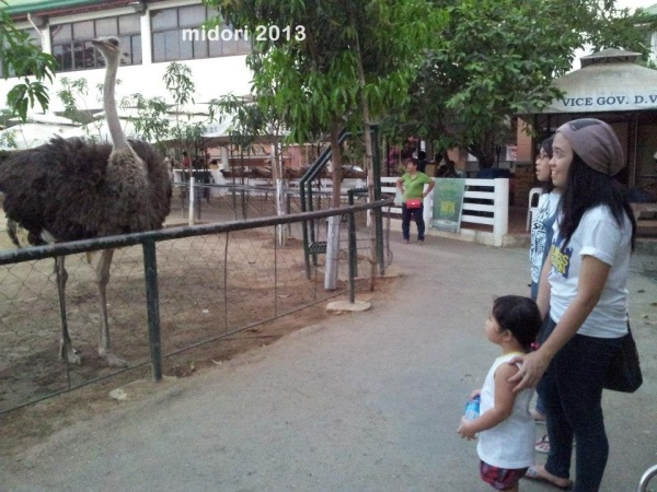 this ostrich kept on following us! 0_0 ahaha good thing there's a fence...